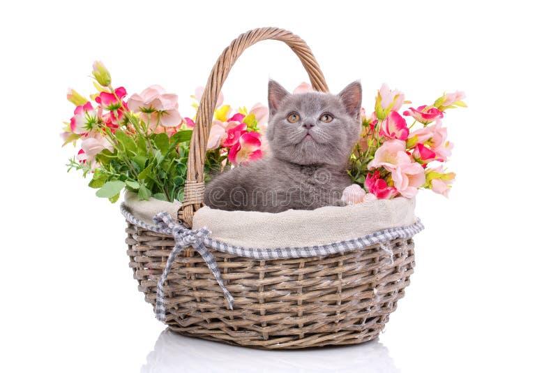 Schots recht katje Ge?soleerd op een witte achtergrond Het speelse katje onderzoekt nieuw grondgebied stock foto's