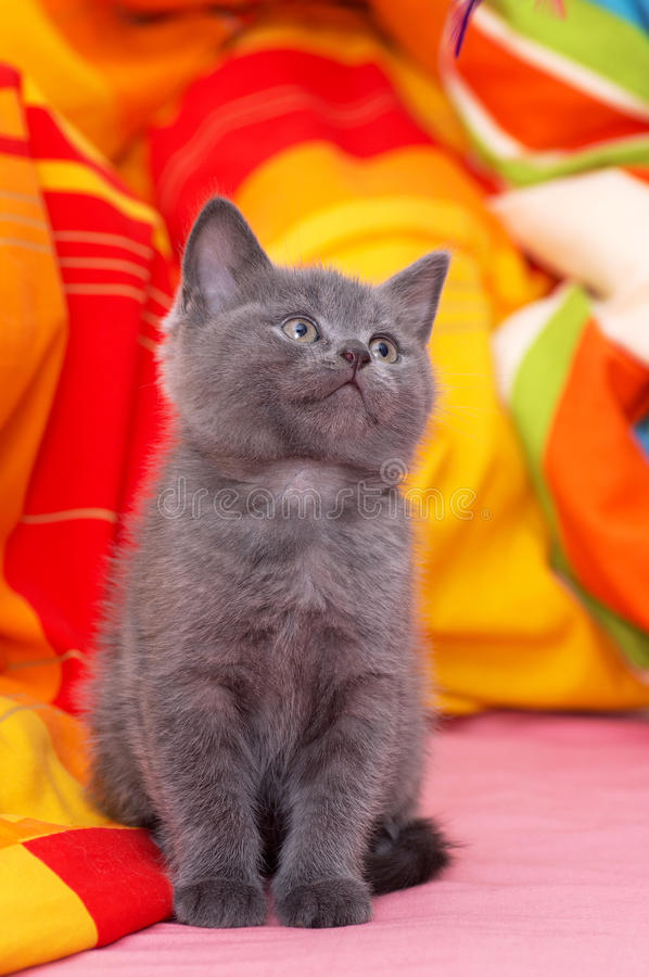 Schots-rechte grijze mooie kat stock afbeelding