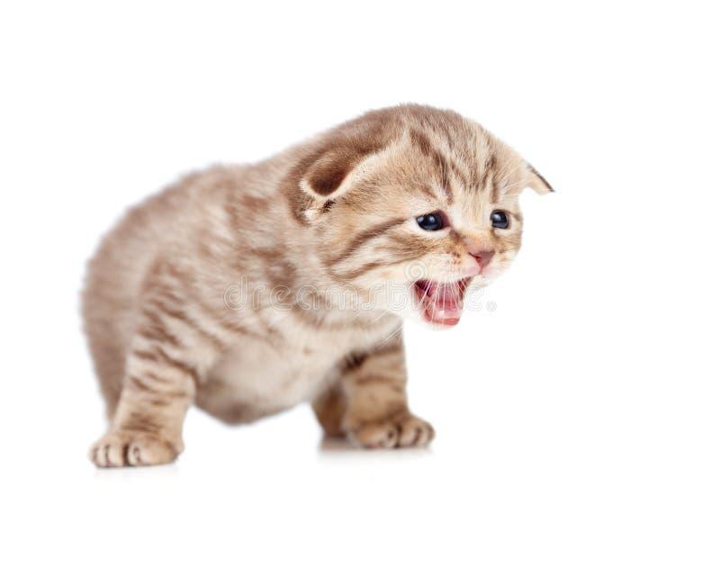 Schots vouwen mauwend katje dat op wit wordt geïsoleerd stock afbeelding