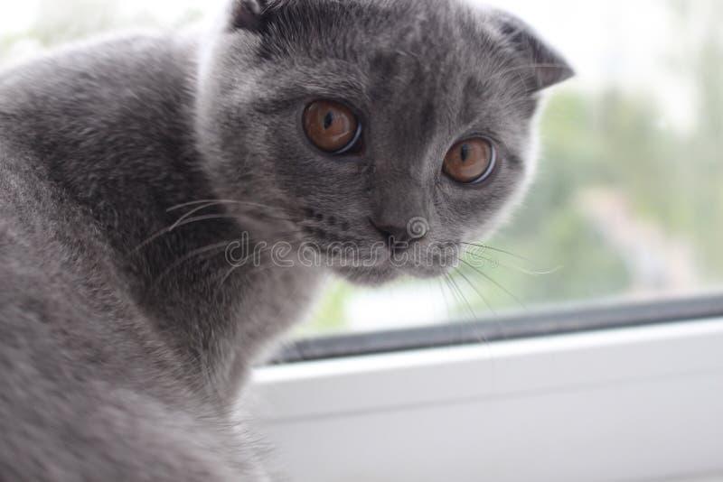 Schotse blauwe marmeren kortharige katjesjongen met hangende oren van zes-maanden leeftijd stock afbeeldingen