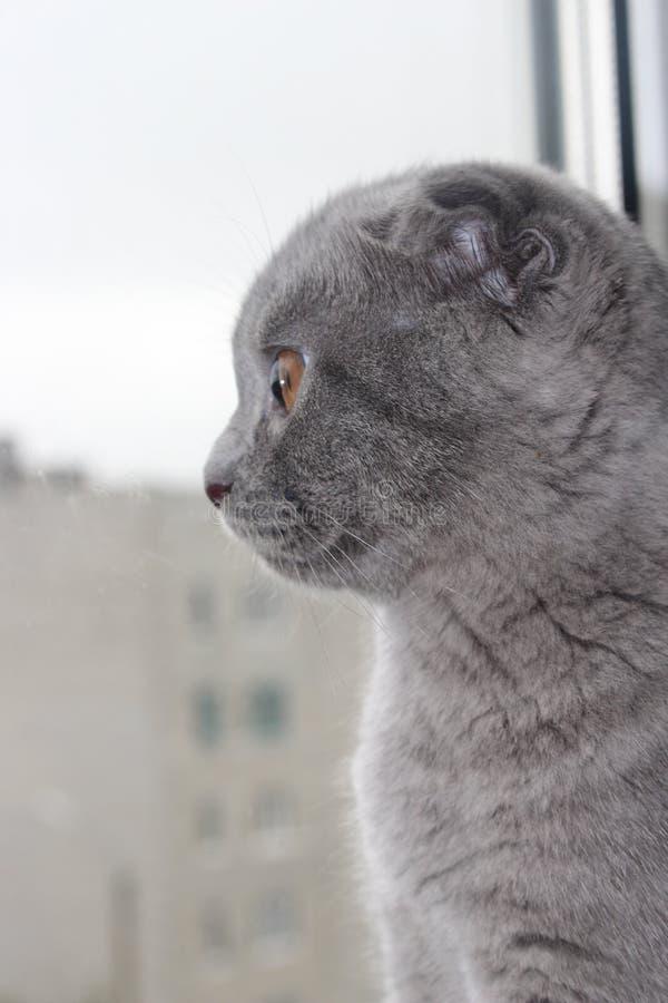 Schotse blauwe marmeren kortharige katjesjongen met hangende oren van zes-maanden leeftijd stock foto's