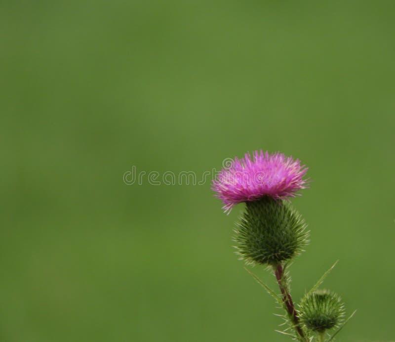 Schotse Distel roze bloem met copyspace stock fotografie