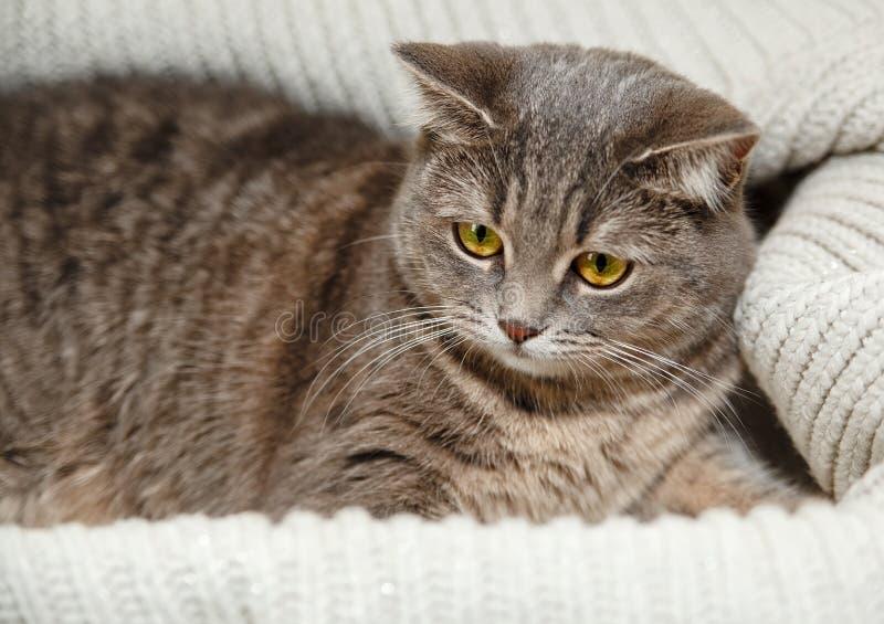 Schotse Grey Cat ligt in de Gebreide Witte Sweater Mooi kijk Dierlijke Fauna, stock afbeeldingen