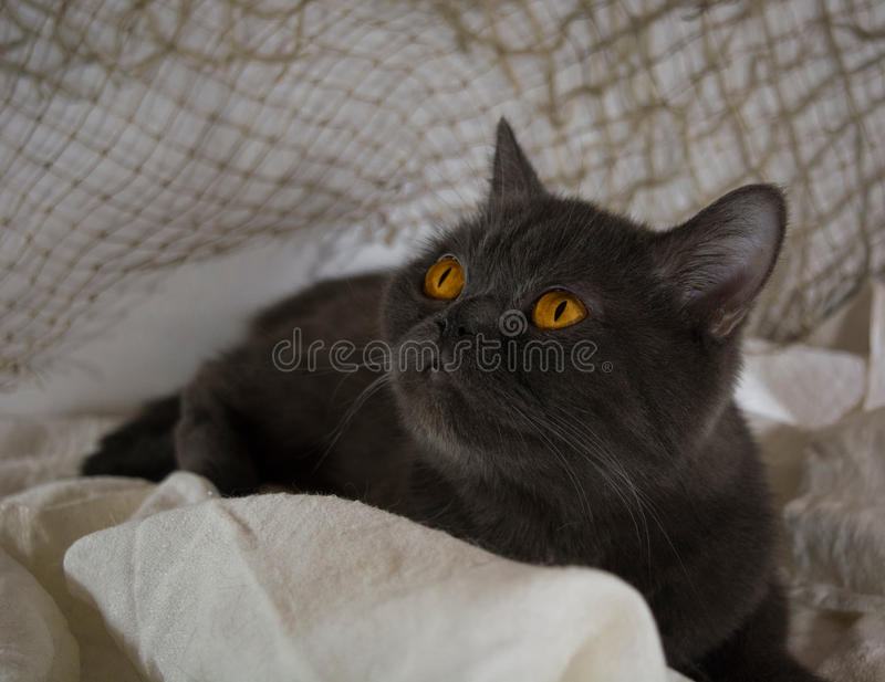 Schotse grijze dame-kat royalty-vrije stock afbeelding
