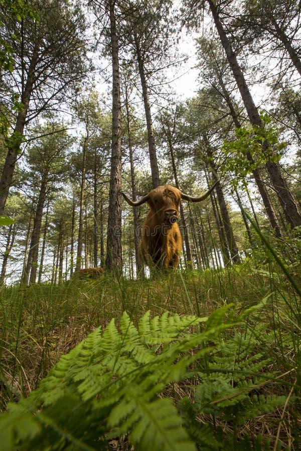 Schotse Hooglander, βοοειδή ορεινών περιοχών στοκ εικόνες με δικαίωμα ελεύθερης χρήσης