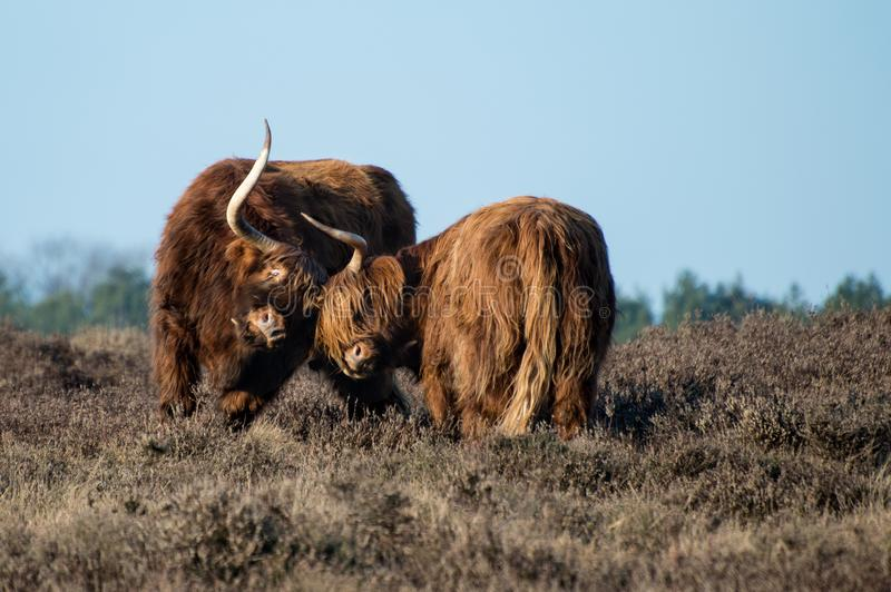 Schotse Hooglanders in een slag stock foto