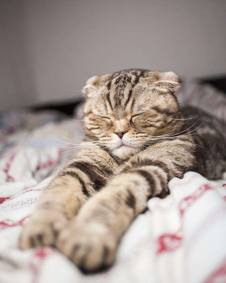 Schotse kat die zoete die tijdpoot slapen uit in bed wordt uitgerekt stock fotografie