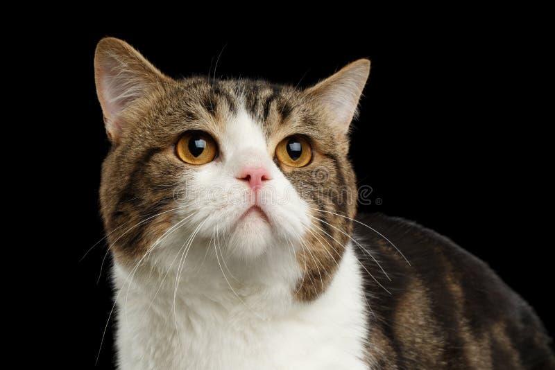 Schotse Rechte gestreepte kat Cat Lying op Spiegel, Zwarte Achtergrond royalty-vrije stock fotografie