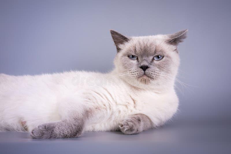 Schotse Vouwen het kleine leuke van katjes blauwe colorpoint wit royalty-vrije stock foto's
