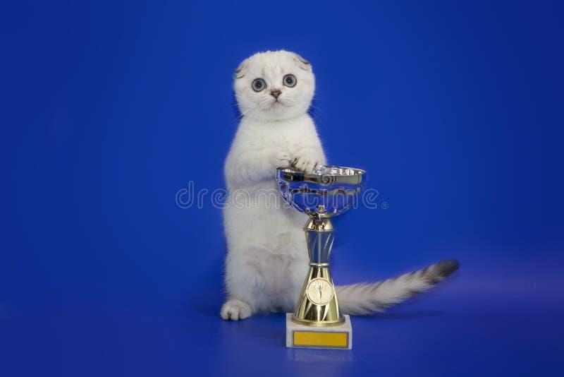 Schotse Vouwen katje het stellen dichtbij de prijskop Het katje is de winnaar op een studio blauwe achtergrond royalty-vrije stock foto