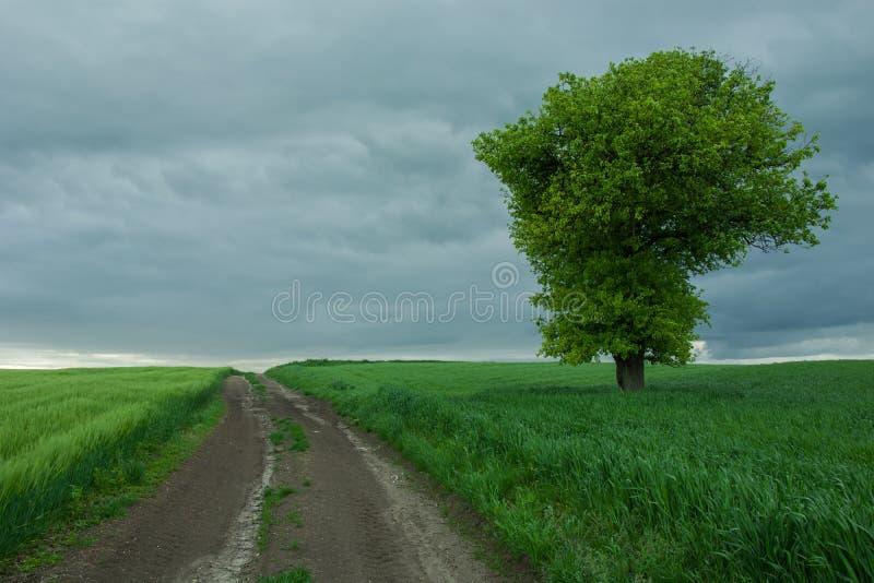 Schotterweg durch grüne Felder, einsamen großen Baum und bewölkten Himmel lizenzfreies stockbild