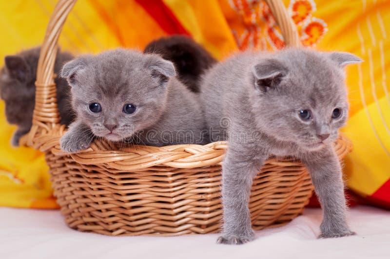 Schottisch-gerade graue schöne Katzen stockbild