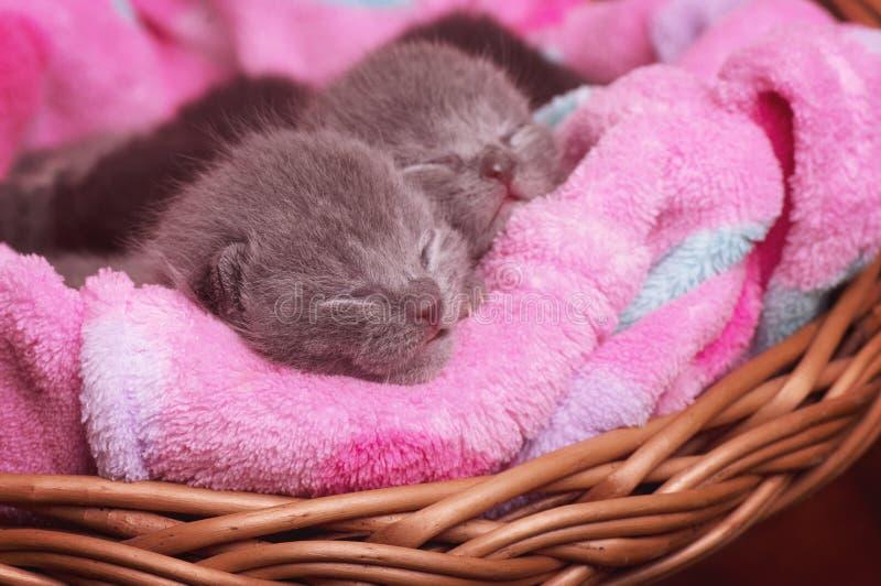 Schottisch-gerade graue schöne Katzen stockfoto