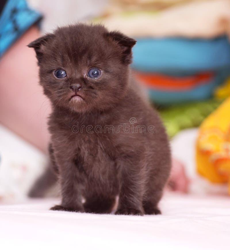 Schottisch-gerade schwarze schöne Katze stockfotografie