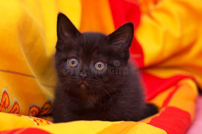 Schottisch-gerade schwarze schöne Katze lizenzfreie stockbilder
