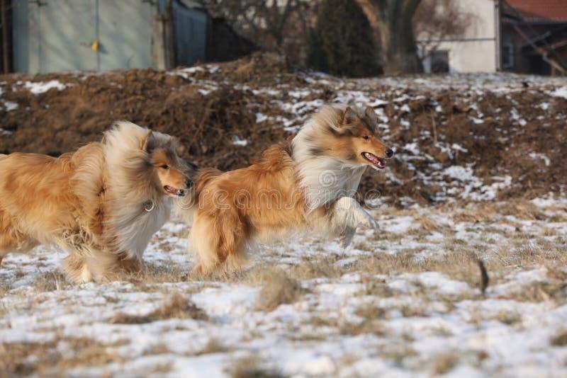 Schottische Collien, die in Winter laufen lizenzfreie stockbilder