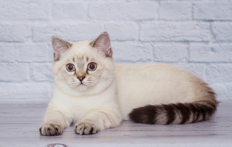 Schottische ehrlich sehend hellfarbige Katze stockbild