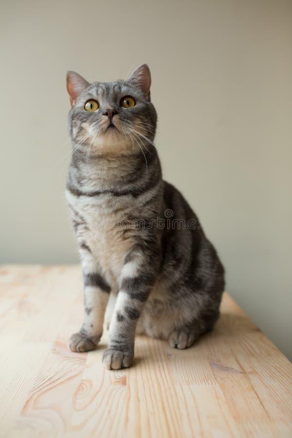 Schottische gerade graue Katze, die oben schaut stockbilder