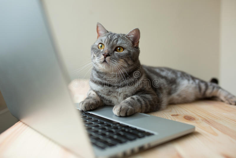 Schottische gerade graue Katze, die online am Computer als Entwickler arbeitet stockfotografie