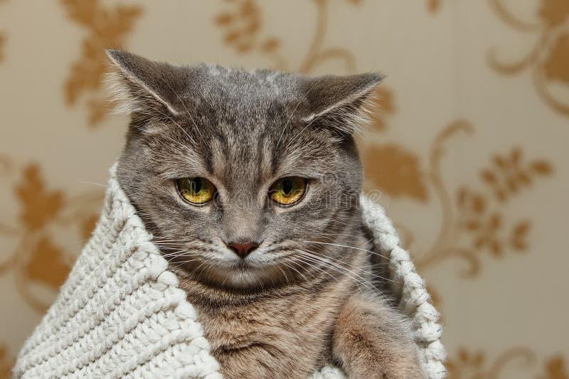 Schottische Grey Cute Cat sitzt in der gestrickten weißen Strickjacke Schöner lustiger Blick Tierfauna, interessantes Haustier stockfotos
