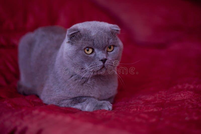 Schottische Katze stockfotos
