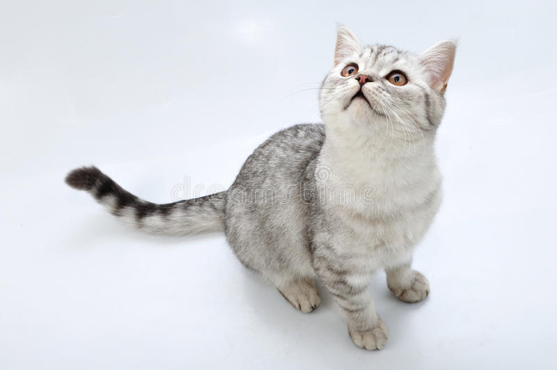 Schottische Katze des entzückenden silbernen Tabby, die oben schaut stockfotografie
