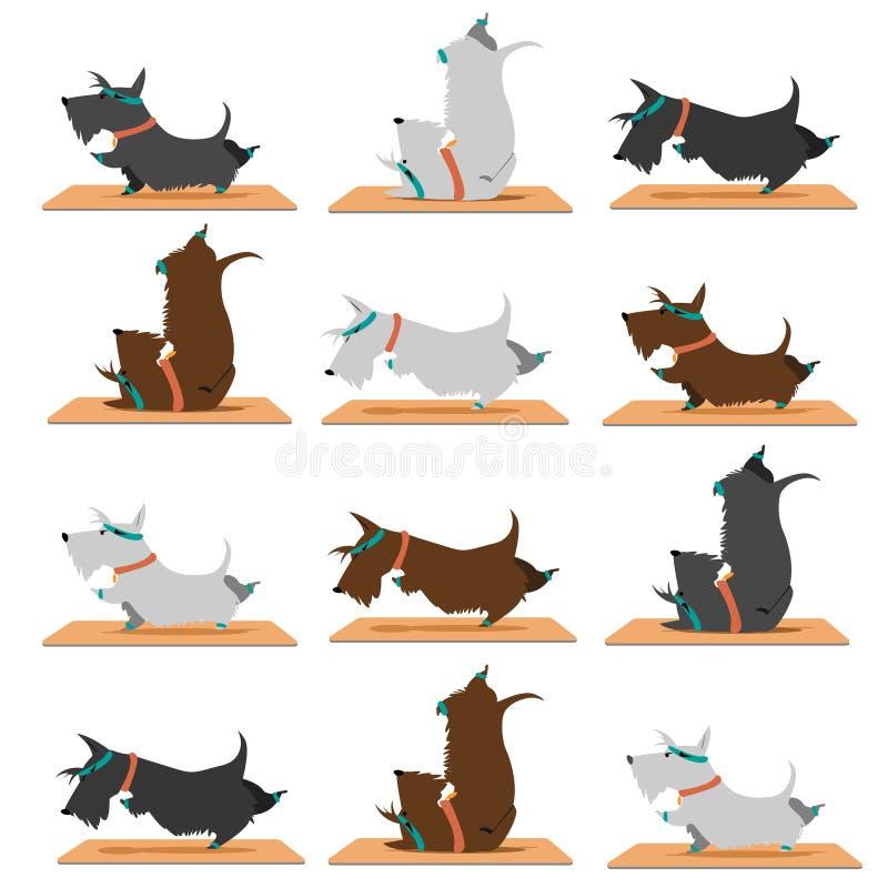Schottische Terrierhunde, die Yoga tun stockbilder
