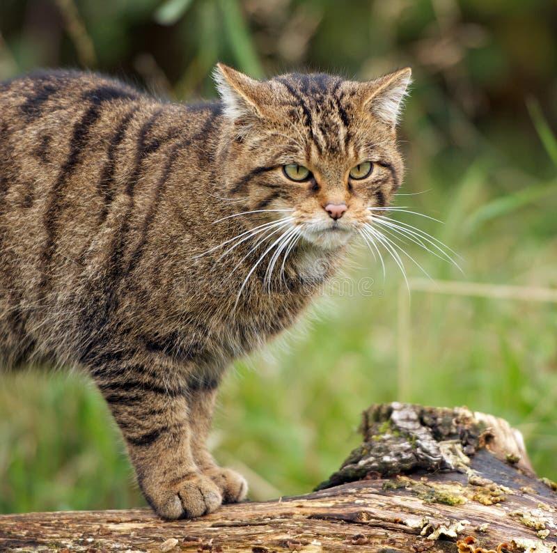 Schottische Wildkatze lizenzfreie stockbilder