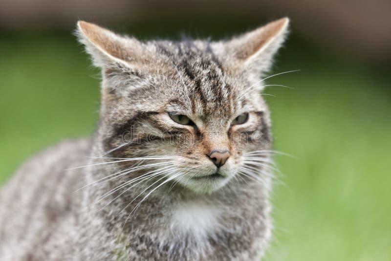 Schottische Wildkatze stockfoto