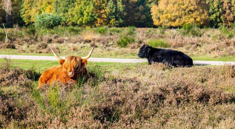 Schottischer Hochländer benötigt einen Friseur stockbild