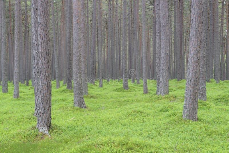 Schottischer Kiefernwald mit grünem Untergrund lizenzfreies stockbild