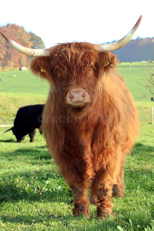 Schottisches Hochland-Vieh stockbilder