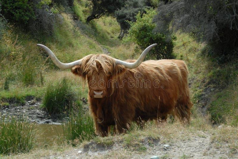 Schottisches Hochlandviehtier stockbilder
