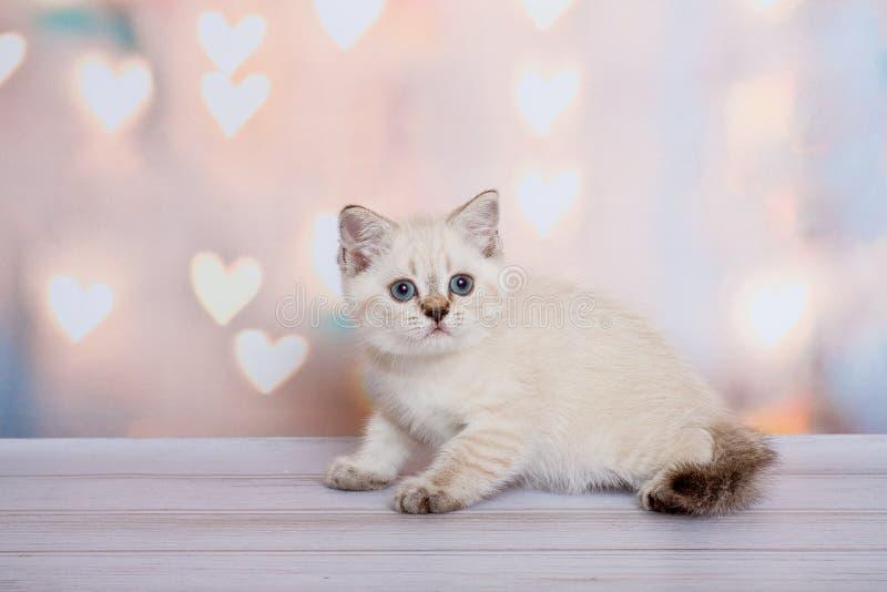 Schottisches Kätzchen der hellen Farbe stockbild