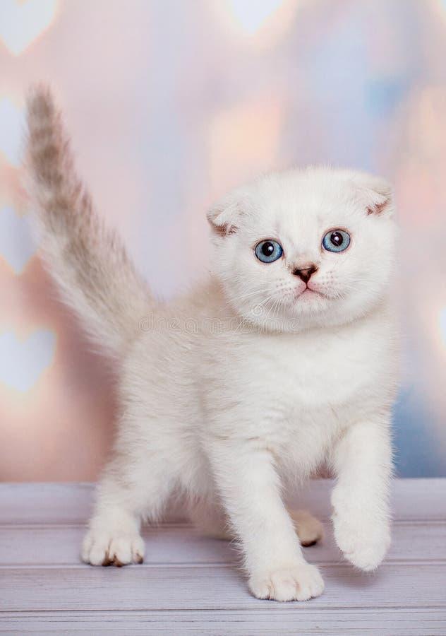 Schottisches Kätzchen der hellen Farbe lizenzfreies stockbild