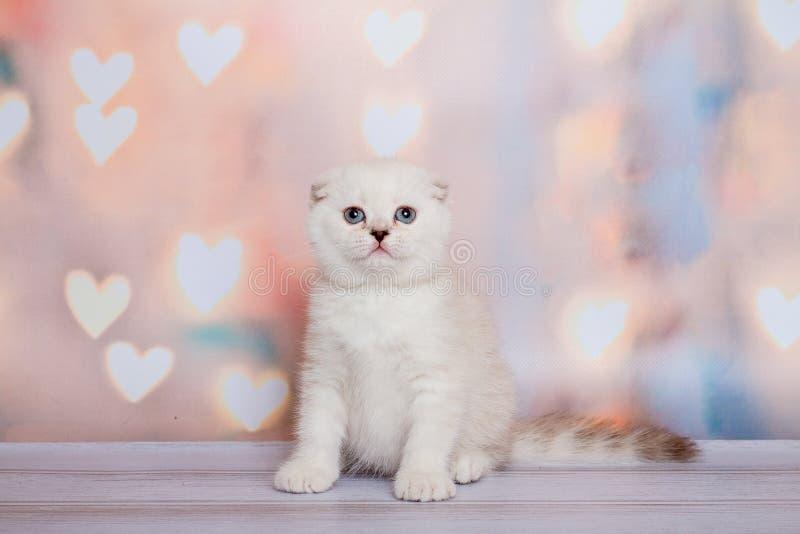 Schottisches Kätzchen der hellen Farbe lizenzfreie stockbilder
