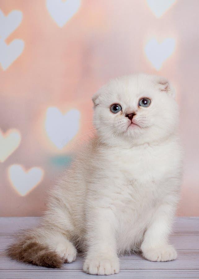 Schottisches Kätzchen der hellen Farbe stockfotos