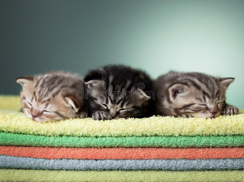 Schottisches Kätzchen Schlafens drei auf Stapel Tüchern stockfotografie