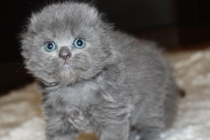 Schottisches kurzhaariges blaues Kätzchen mit Hängeohren lizenzfreie stockbilder