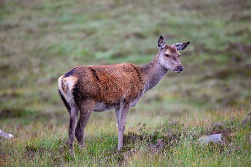 Schottisches Rotwild in Schottland lizenzfreie stockbilder
