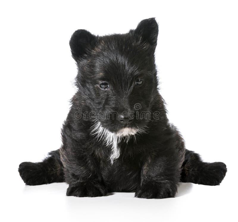Schottisches Terrierwelpensitzen stockfotografie