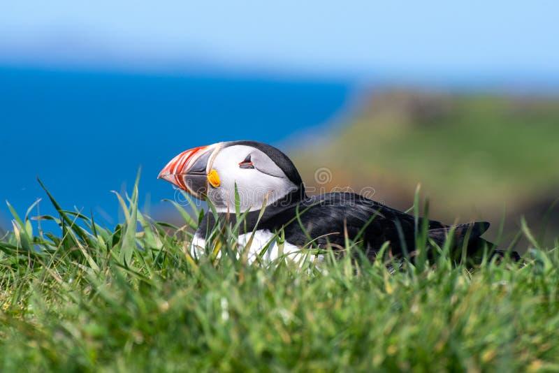 Schottland, bunter Papageientaucher/Papageientaucher an der Küste von Treshnish-Inseln stockfotos