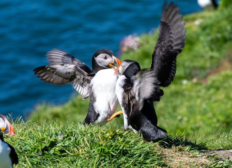 Schottland, bunter Papageientaucher/Papageientaucher an der Küste von Treshnish-Inseln lizenzfreie stockfotos