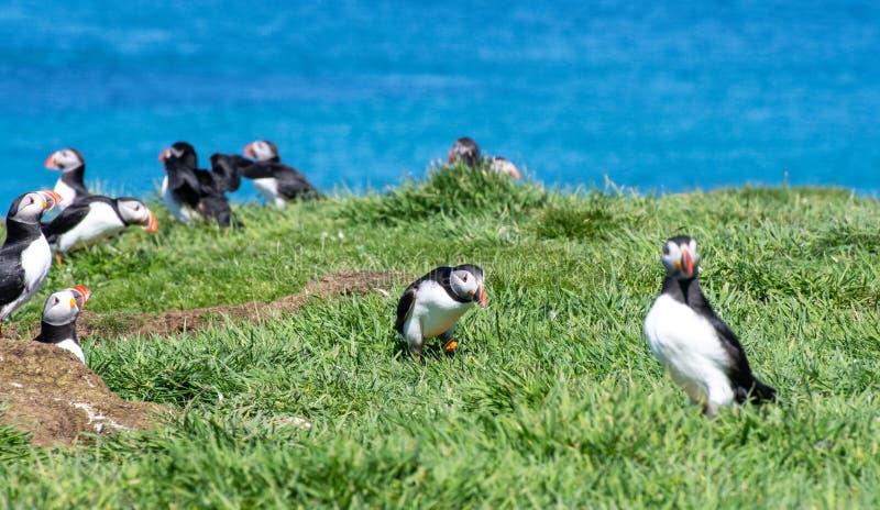 Schottland, bunter Papageientaucher/Papageientaucher an der Küste von Treshnish-Inseln stockfoto