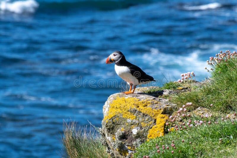 Schottland, bunter Papageientaucher/Papageientaucher an der Küste von Treshnish-Inseln stockbilder