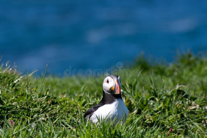 Schottland, bunter Papageientaucher/Papageientaucher an der Küste von Treshnish-Inseln stockfotografie