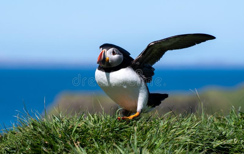 Schottland, bunter Papageientaucher/Puffinsat die Küste von Treshnish-Inseln lizenzfreies stockfoto