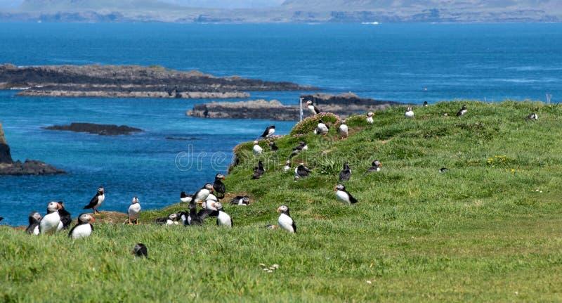 Schottland, buntes Papageientaucher groupe an der Küste von Treshnish-Inseln stockbild