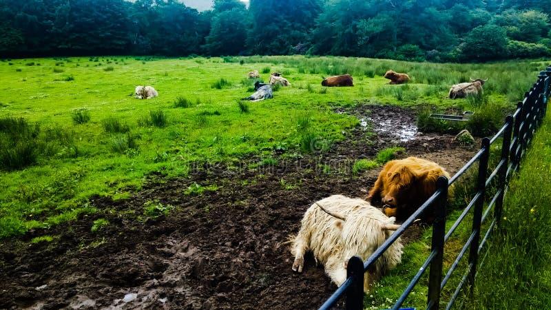 Schottland-Kuh stockfotos