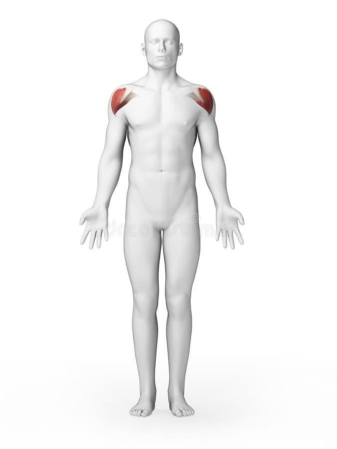 Schoulder肌肉 向量例证